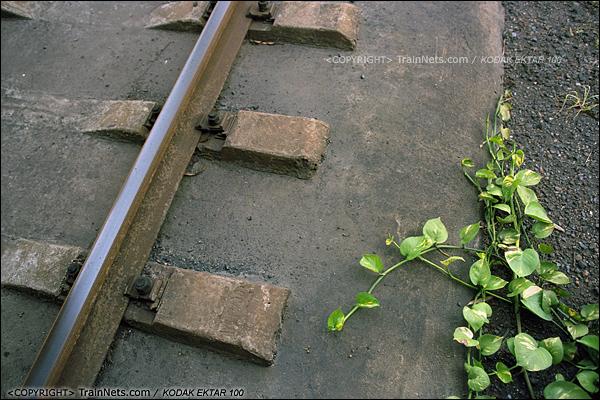 2013年8月11日。广州钢铁厂铁路,芳村花园旁的编组站。一株植物向钢轨延伸。(E0513)