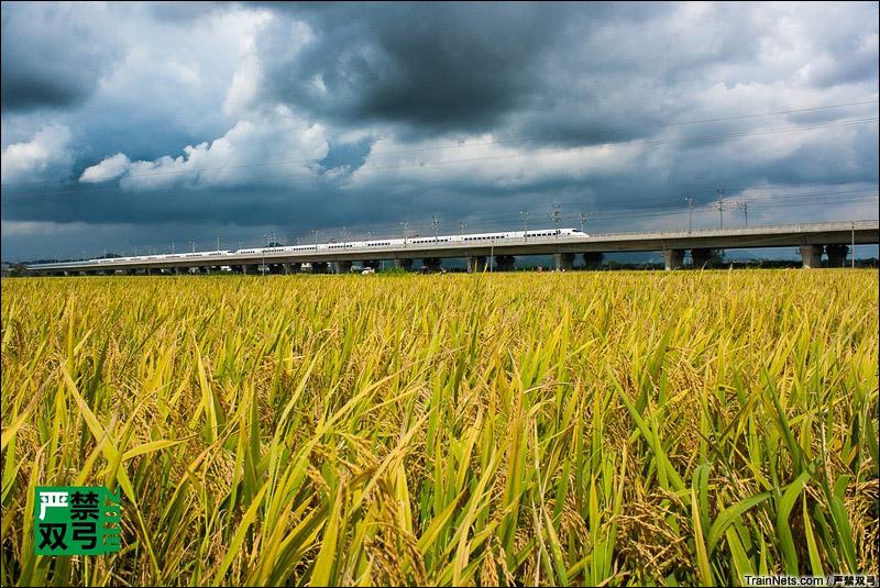 2014年7月13日,南柳线CRH2列车行驶在一片金黄色稻田之上,开往南宁。