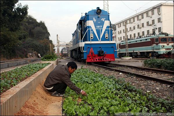 2013年12月。厦门。 厦门折返段,一位市民在机车旁的空地上开荒种菜。