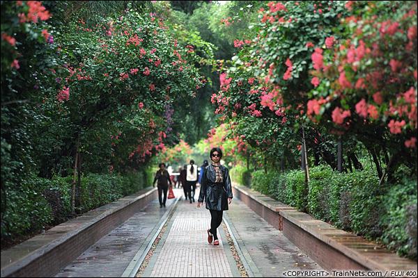 2013年12月。厦门铁路公园。靠近虎园路口段。 该段铁路两侧种满了艳丽的三角梅。(E3036)
