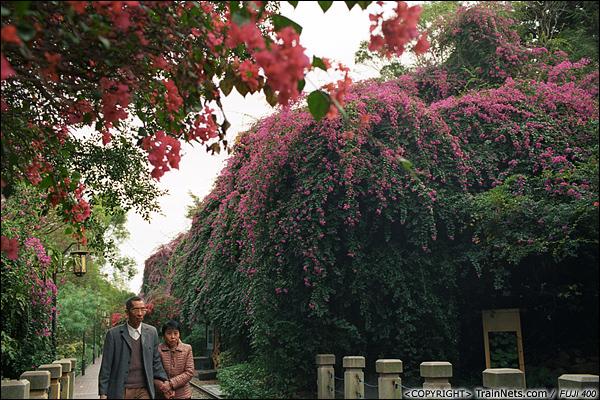 2013年12月。厦门铁路公园。靠近虎园路口段。 该段铁路两侧种满了艳丽的三角梅,有些花从高空坠下。(E3028)