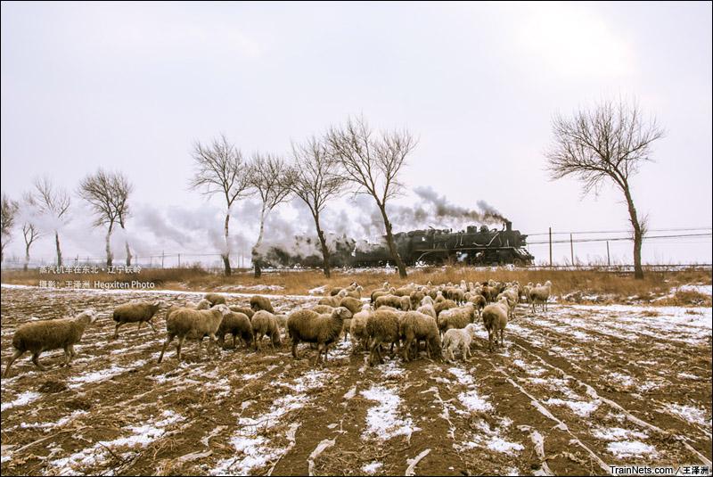 2015年1月。辽宁铁岭,第八届调兵山国际蒸汽机车摄影节。KD6与SY重联运行。(图/王泽洲)