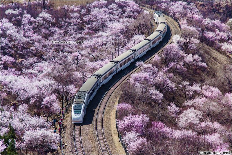 2016年3月26日。京张铁路,北京市郊铁路S2线和谐长城号内燃动车组驶过居庸关花海。(图/刘俊良)
