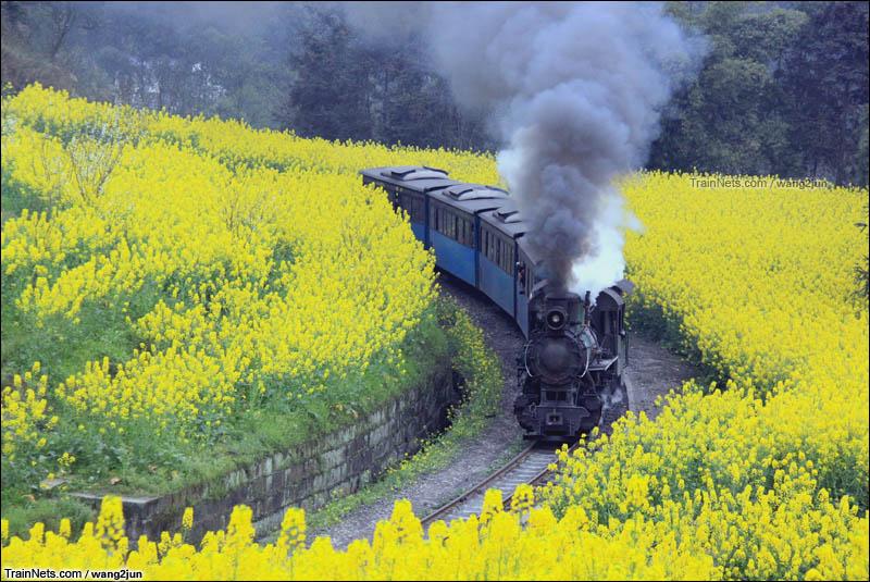 2014年3月。四川犍为。嘉阳小火车通过油菜花海。(图/wang2jun)