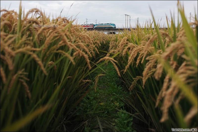 2015年10月11日。京哈线。昌图-开原。2624次列车经过开原市郊的稻田地。(图/赵飞)